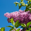 Lilac against blue sky — Stock Photo