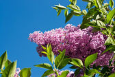 Lilac against blue sky — Stockfoto