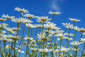 Camomiles and sky — Stock Photo