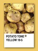 Tono di patata gialla. disegno del campione di colore — Foto Stock