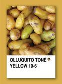 OLLUQUITO TONE YELLOW. Color sample design — Stock Photo