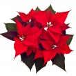 Stock Photo: Poinsettias Christmas flower