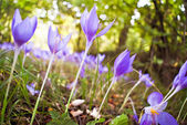 Crocus flowers in forest — Stock Photo