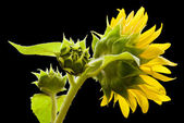 Sunflower side view — Stock Photo