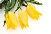 Trzy żółte tulipany — Zdjęcie stockowe