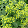 Stock Photo: Lady's mantle