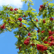 Sorbus aucuparia - Stock Photo
