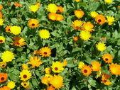 Calendula officinalis — Stock fotografie