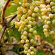 Yellow Grapes — Stock Photo #11579902
