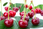 Piccolo gruppo ciliegio su un petalo — Foto Stock