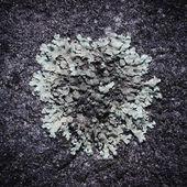 Lichen — Foto de Stock