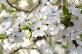 Blooming cherry tree in early springtime, daylight — Stock Photo