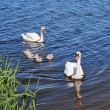 White swans and cygnets - Stock Photo