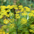 Dill in garden — Stock Photo
