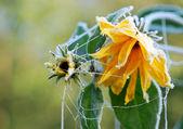 Flores de color amarillo congeladas — Foto de Stock