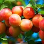 prunes sur l'arbre — Photo