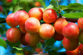 Plums on the tree — Stock Photo