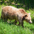 Brown bear — Stock Photo #11471558