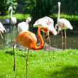 Flamingo birds — Stock Photo
