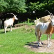 Stock Photo: Goat in wilderness during day