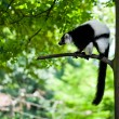Black and white lemur Vari (ruffed lemur) in the forest — Stock Photo