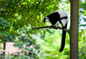 Black and white lemur Vari (ruffed lemur) in the forest — Stock Photo
