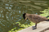 Duck glooming — Stock Photo