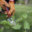 Close Up gardening pulling out weeds - Stock Photo
