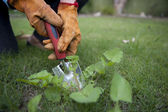 Close Up gardening pulling out weeds — Stock Photo