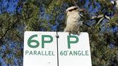 Pássaros kookaburra australiana — Fotografia Stock