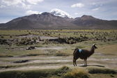 View with LLama and mountains in Sajama, Bolivia. — Stock Photo