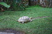 Turtle in the garden — Stock Photo