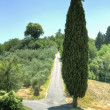 Tall cypress next to an uphill road — ストック写真