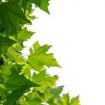 Maple tree leaves isolated on white background — Stock Photo #11577614