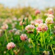Pink clovers in the evening sunlight — Stock Photo