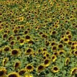 Sunflower field — Stock Photo #11760837