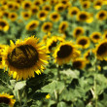 Sunflower field — Stock Photo #11760864