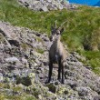Young male ibex - Stock Photo
