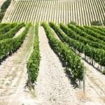 Vineyard — Stock Photo #11988427