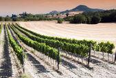 Vineyard at the sunset — Stock Photo
