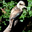 Australian Kookaburra — Stock Photo #10923800