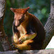 Royalty-Free Stock Photo: Australian Tree Kangaroo