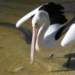 Australian Pelican — Stock Photo