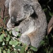 Royalty-Free Stock Photo: Australian Koala