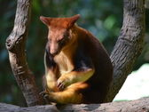 Australian Tree Kangaroo — Stock Photo