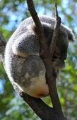 Australian Koala Sleeping — Stock Photo
