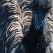 Australian Emu — Stock Photo