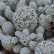 Fuzzy White Cactus — Stock Photo