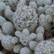 Stock Photo: Fuzzy White Cactus