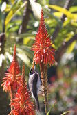 Australian bird feeding on a flower — Stock Photo